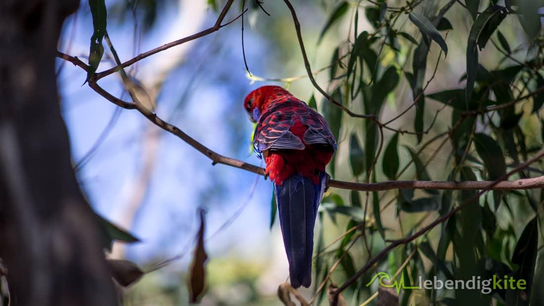 Papagei beste Reisezeit in Australien
