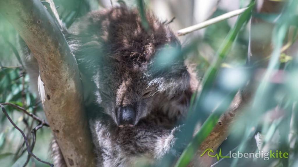 Koala Australien Perth