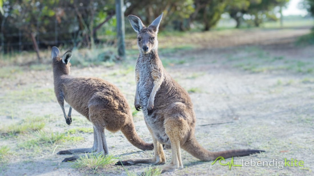 Känguru Australien Natur Tierwelt